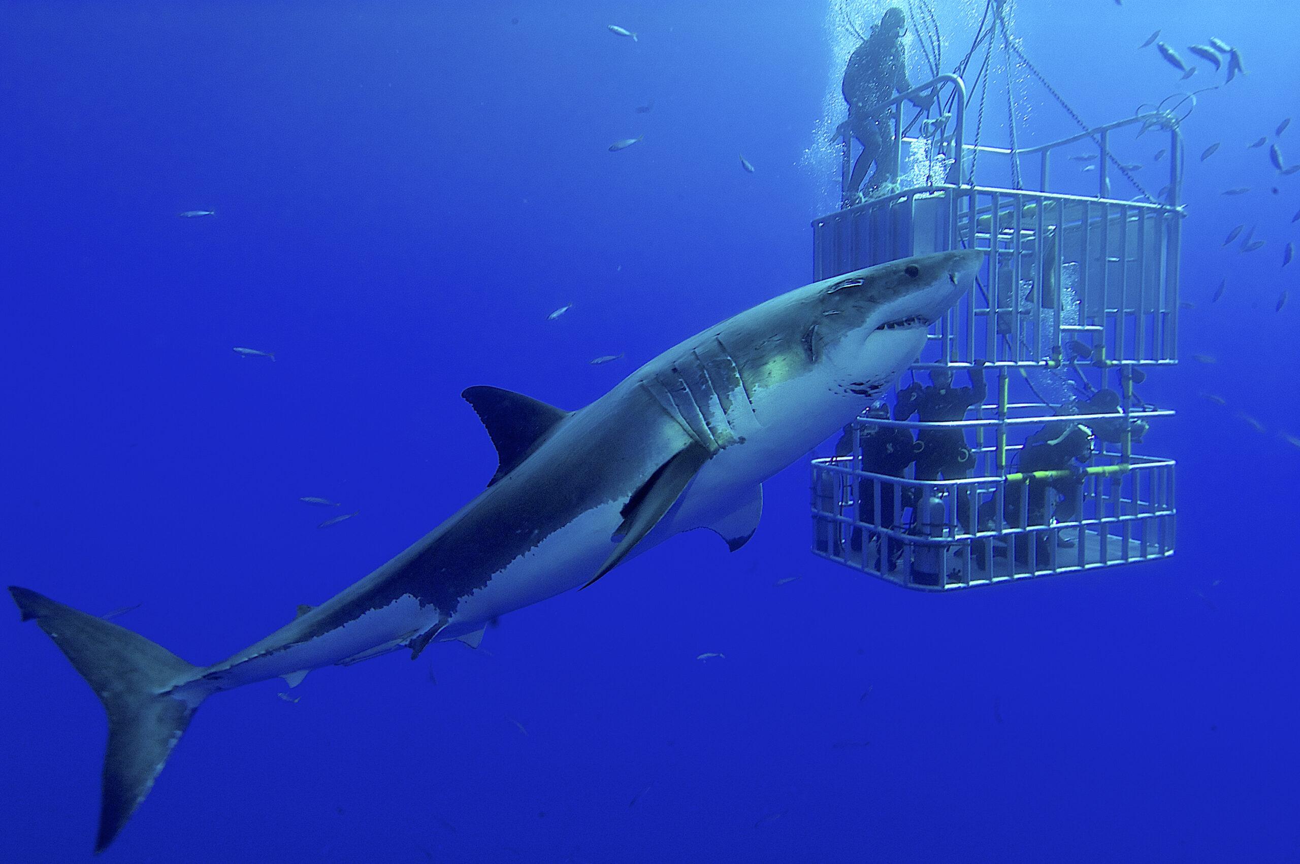 rekin przy klatce